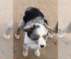 Miniature Australian Shepherd Puppy for Sale in RAMONA, California USA