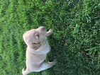 Labrador Retriever Puppy For Sale in EDMORE, MI