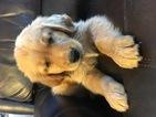 AKC Golden Retrievers Puppies