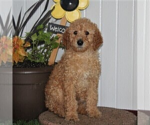 Labradoodle-Poodle (Standard) Mix Puppy for sale in NEW PROVIDENCE, PA, USA