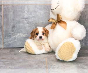 Cava-Tzu Puppy for sale in CLEVELAND, NC, USA