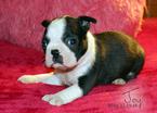 Joy Boston Terrier Puppy Female