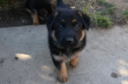 German Shepherd Dog Puppy For Sale in UNION CITY, CA, USA