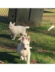 Princess Reg AKC White German Sheperd Pups  NC