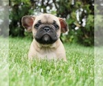 Puppy 9 French Bulldog