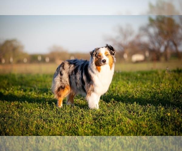 Medium Photo #1 Australian Shepherd Puppy For Sale in STEPHENVILLE, TX, USA