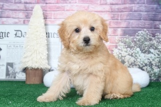 Maltipoo puppies for sale in maryland