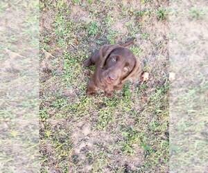 Goldendoodle-Labrador Retriever Mix Dog for Adoption in OAKVILLE, Washington USA