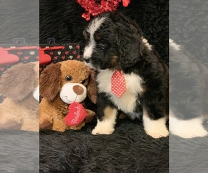 Bernedoodle Puppy for Sale in DALE, Indiana USA
