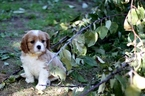 Cavalier King Charles Spaniel Puppy For Sale in GRESHAM, OR, USA