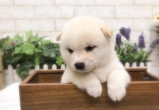 Shiba Inu Puppy for Sale in SAN JOSE, California USA