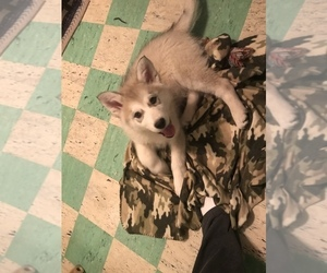 Alaskan Husky Puppy for sale in FAIRBANK, IA, USA