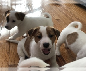 Jack Russell Terrier Puppy for sale in CHANTILLY, VA, USA