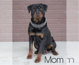 Mother of the Rottweiler puppies born on 02/12/2021