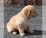 Small #3 Labradoodle-Poodle (Miniature) Mix