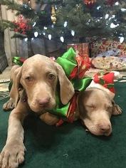 Weimaraner Puppy for sale in KOKOMO, IN, USA