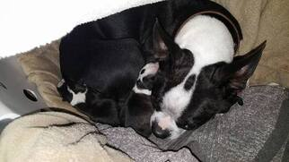 Mother of the Boston Terrier puppies born on 02/13/2019