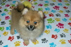 Pomeranian Puppy For Sale in ORO VALLEY, AZ, USA