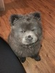 Chow Chow Puppy For Sale in RICHMOND, Virginia,