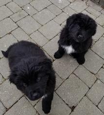 Newfoundland Puppy For Sale in DEXTER, MI, USA