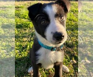Border Collie Puppy for sale in ANDERSON, SC, USA