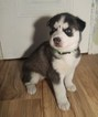 Siberian Husky Puppy For Sale in MOUNT MORRIS, MI