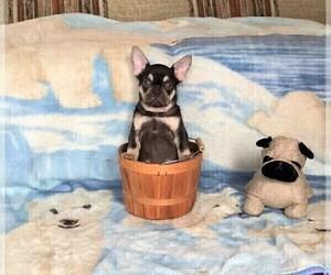 French Bulldog Puppy for Sale in BITTER LAKE, Washington USA