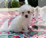 Small Photo #3 Maltipoo Puppy For Sale in LOUISVILLE, KY, USA