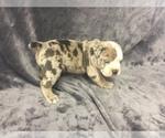 Puppy 7 Olde English Bulldogge