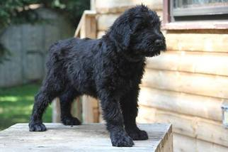 Black Russian Terrier Puppy For Sale in Chilliwack, British Columbia, Canada