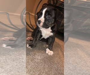 American Bully Puppy for sale in COLUMBIA, IL, USA