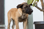 Belgian Malinois Puppy For Sale in IMPERIAL BEACH, CA, USA