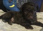 Russian Tsvetnaya Bolonka Puppy For Sale in Centralia, Ontario, Canada