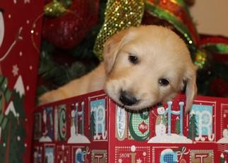 Golden Retriever Puppy For Sale in LEBANON, MO, USA