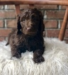 Goldendoodle Puppy For Sale in PHENIX CITY, AL, USA