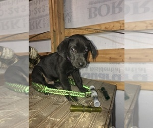 Labrador Retriever Puppy for sale in ATWATER, MN, USA