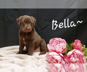 German Shepherd Dog-Labrador Retriever Mix Puppy for Sale in SUGARCREEK, Ohio USA
