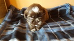 Shih Tzu Puppy For Sale in SAINT JOSEPH, MO, USA