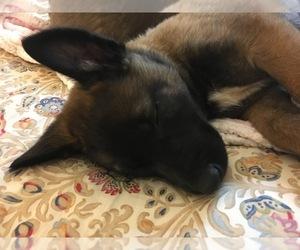 Belgian Malinois Puppy for sale in SHELTON, WA, USA