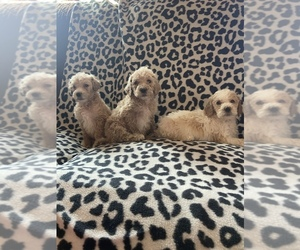 Poodle (Standard) Puppy for sale in ALEDO, IL, USA