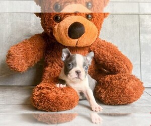 American Boston Bull Terrier Puppy for sale in CLEVELAND, NC, USA