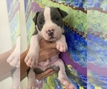 Puppy 0 American Pit Bull Terrier