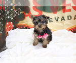 Small Photo #1 Yorkshire Terrier Puppy For Sale in LAS VEGAS, NV, USA