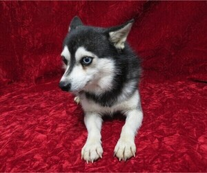 Father of the Alaskan Klee Kai puppies born on 10/08/2020