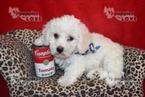 Bichon Frise Puppy For Sale in SANGER, TX, USA