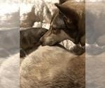 Small Photo #14 Wolf Hybrid Puppy For Sale in FILLMORE, LA, USA