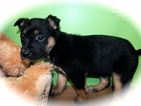 Australian Cattle Dog-German Shepherd Dog Mix Puppy For Sale in HAMMOND, IN