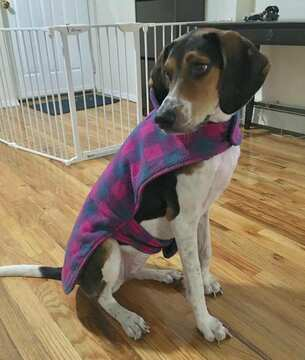 Beagle Harrier-Treeing Walker Coonhound Mix dog