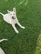 German Shepherd Dog Puppy For Sale in TONOPAH, NV, USA