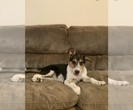 Puppy 4 Australian Cattle Dog-Jack Russell Terrier Mix